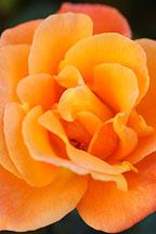 Rose 'apricot nectar' - Photo #4955