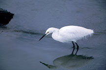 Snowy Egret standing in water. Egretta thula. Palo Alto Baylands Nature Preserve, California. - Photo #755