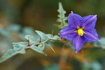 Solanum pyracanthum. - Photo #1956