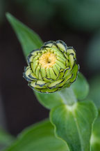 Zinnia bud. - Photo #2056
