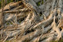 Close-up of Chinese Banyan tree roots. Kowloon walled city park. Hong Kong. - Photo #15557