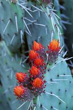 Prickly pear cactus. Opuntia phaeacantha. - Photo #1257