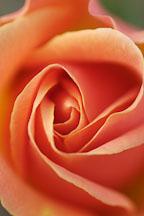 Rose 'apricot nectar' - Photo #4957