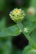 Zinnia bud. - Photo #2057