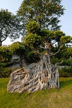 Chinese Banyan tree. Ficus microcarpa. Kowloon walled city park. Hong Kong. - Photo #15558