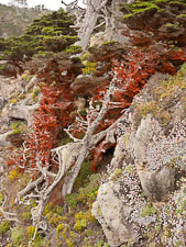 Red algae, cypress trees, and succulents. Point Lobos State Reserve, California. - Photo #26958