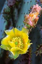 Prickly pear cactus. Opuntia phaeacantha. - Photo #1258