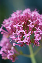 Centranthus ruber. Red valerian. - Photo #3758