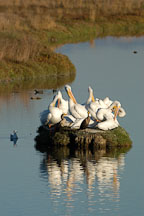 American white pelicans. Palo Alto Baylands Nature Preserve, California. - Photo #2259