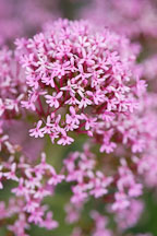 Centranthus ruber. Red valerian. - Photo #3759