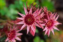 Flowering succulent. - Photo #659