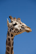 Giraffe. - Photo #17559