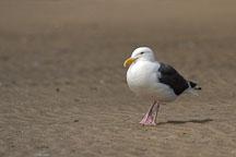 Gull at Pescadero state beach, California, USA. - Photo #4359
