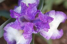 Iris. - Photo #3259