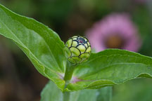 Zinnia bud. - Photo #2059