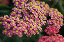 Achillea filipendulina. Garden hybrids. - Photo #4942