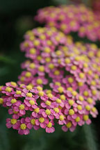 Achillea filipendulina. Garden hybrids. - Photo #4943