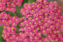 Achillea filipendulina. Garden hybrids - Photo #4974