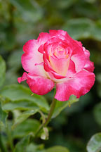 Rose 'double delight'. Rosa - photos & pictures - ID #4273