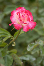 Rose 'double delight'. Rosa - photos & pictures - ID #4278