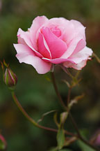 Rose, 'duet'. - photos & pictures - ID #4280