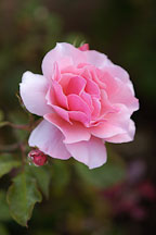 Rose 'duet'. Rosa. - photos & pictures - ID #4423