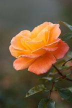Rose. Rosa spp 'apricot nectar' - photos & pictures - ID #4951