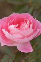 Rose. Rosa spp. 'Carefree wonder' - photos & pictures - ID #4967