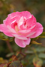 Rose. Rosa spp. 'Carefree wonder' - photos & pictures - ID #4971