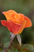 Rose. Rosa spp 'apricot nectar' - photos & pictures - ID #4978