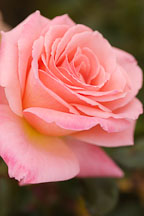 Rose, Bill Warriner. - photos & pictures - ID #4995