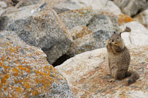 Beechey ground squirrel. Spermophilus beecheyi. 17-Mile drive, California, USA. - Photo #4791