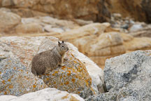 Beechey ground squirrel sitting on the rocky shoreline. 17-Mile drive, California, USA. - Photo #4787