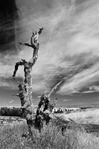 Dead tree at Arastradero Preserve. Palo Alto, California, USA. - Photo #4872