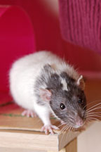 Spazimodo, a dumbo pet rat. - Photo #4902