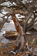 Monterey cypress, Cupressus macrocarpa. 17-Mile drive, California, USA. - Photo #4804