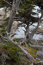 Monterey cypress, Cupressus macrocarpa. 17-Mile drive, California, USA. - Photo #4817