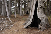 Hollowed tree. Monterey cypress grove. 17-Mile drive, California, USA. - Photo #4801