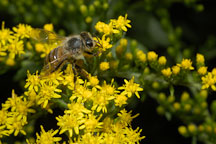 Honey bee. Apis mellifera. - Photo #4474