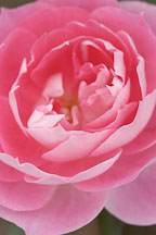 Rose, 'Carefree wonder' - Photo #4968