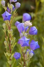 Platycodon grandiflorus, Balloon flower - Photo #4408
