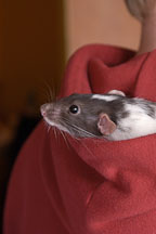 Spazimodo, a dumbo pet rat rests in his owner's hood. - Photo #4920