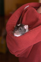Dumbo pet rat looks out of his owner's hood. - Photo #4921