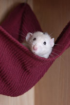 Salty, a white Dalmatian pet rat, peers out of his hammock. - Photo #4918