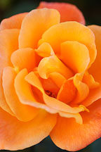 Rose 'apricot nectar' - Photo #4955