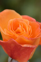Rose 'apricot nectar' - Photo #4982