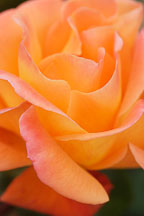 Rose 'apricot nectar' - Photo #4987