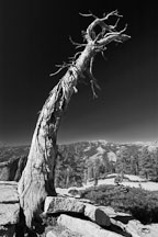 Twisted pine tree at Sentinel Dome, Yosemite National Park, California, USA. - Photo #4706