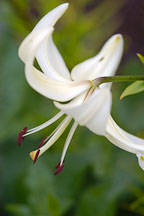 White lily flower. - Photo #4311