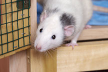 White pet rat looks outside of his cage. - Photo #4903